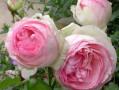 Mignonne est la rose